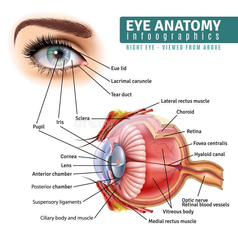 Realistic Eye Anatomy Infographics. Human eye anatomy infographics with oute view and organ ine structure on white background realistic vector illustration vector illustration