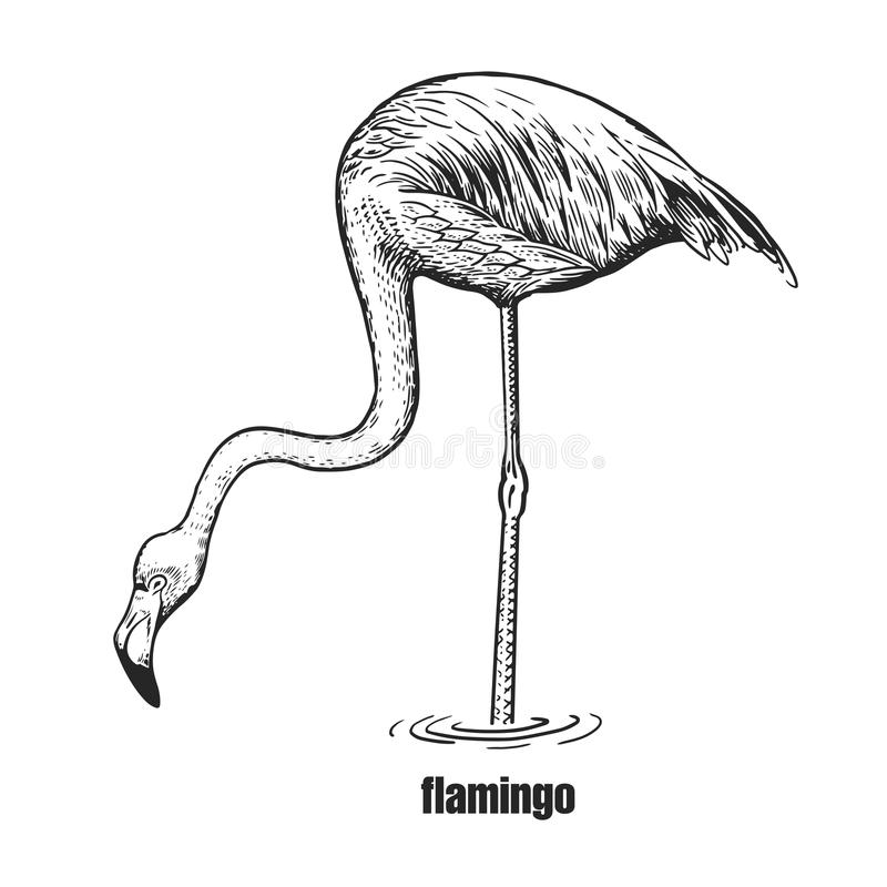 Realistic flamingo bird. Black and white graphics. vector illustration