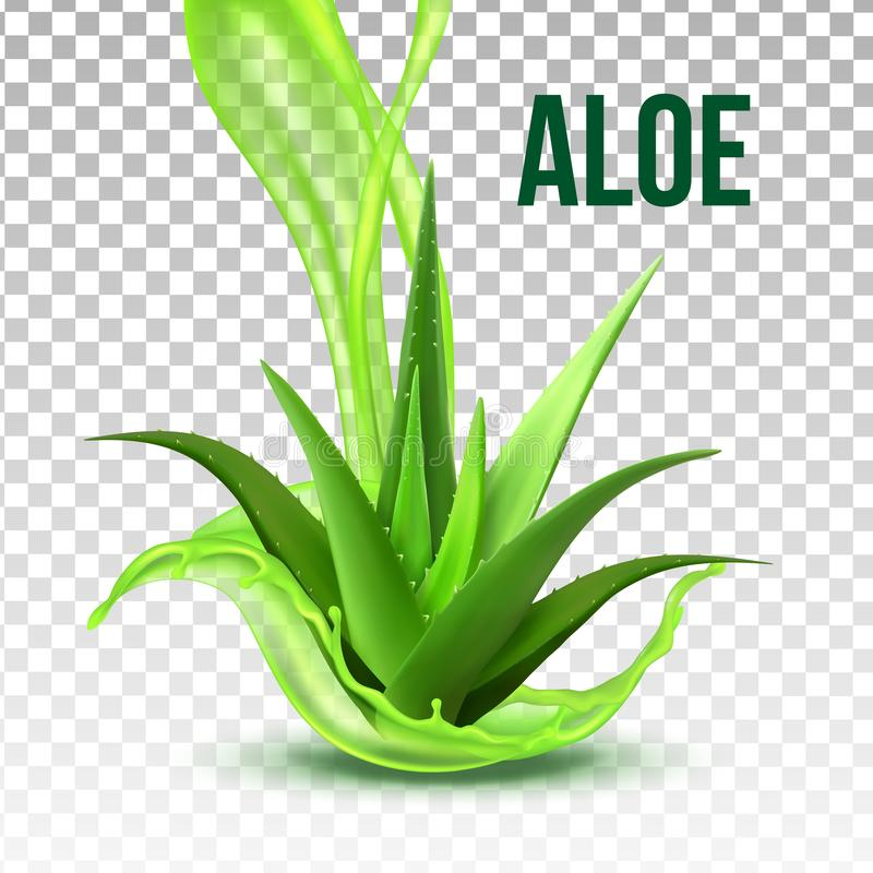 Realistic Foliage Green Plant Aloe Vera Vector. Medicinal Plant With Fresh Splash Juice On Transparency Grid Background. Constituent Of Cosmetology And stock illustration
