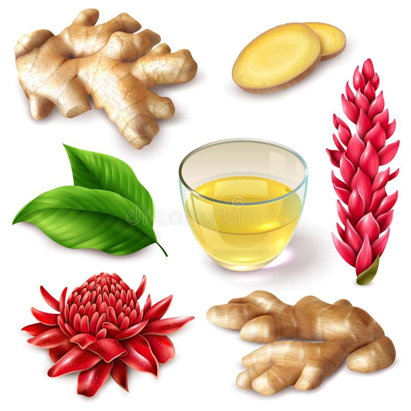 Realistic Ginger Root Spicy Set. Realistic ginger root with red flowers spicy set with tea, leaves on white background isolated vector illustration vector illustration