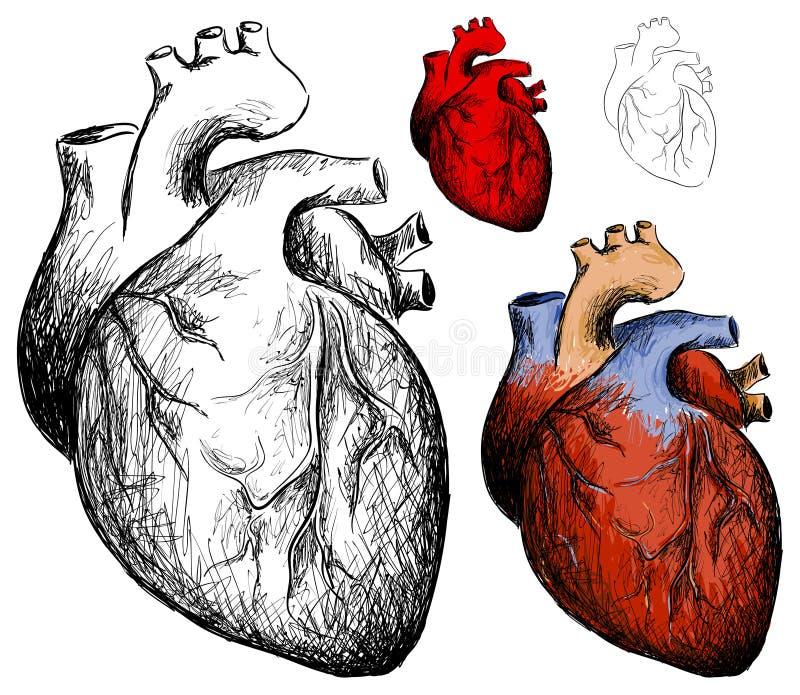 Realistic heart royalty free illustration