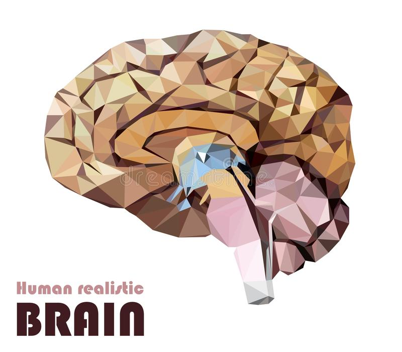 Realistic human brain in low poly. Colourful dissected brain. Br vector illustration