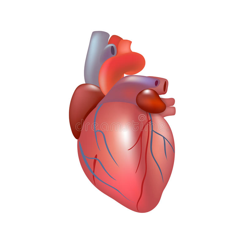 Realistic human heart isolated on white background. stock illustration