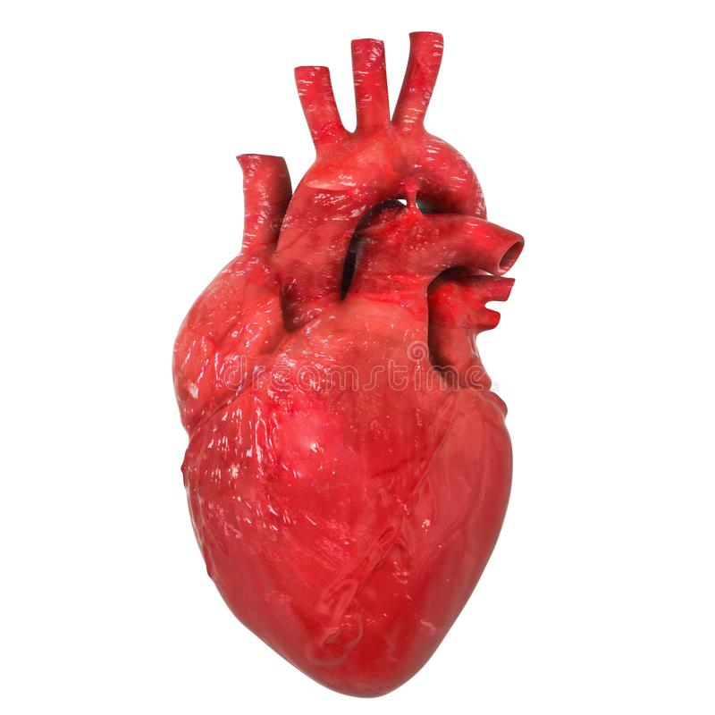 Realistic human heart organ with aorta and arteries, 3D rendering vector illustration