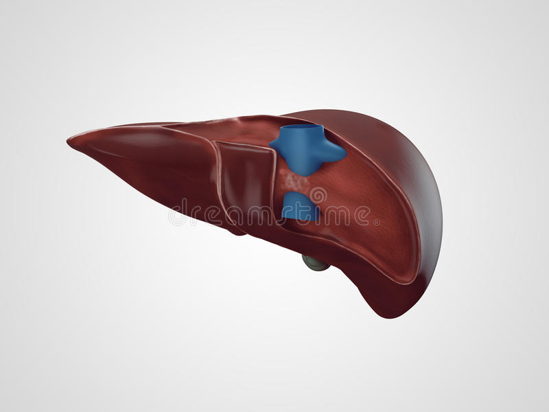 Realistic human liver illustration royalty free stock photos