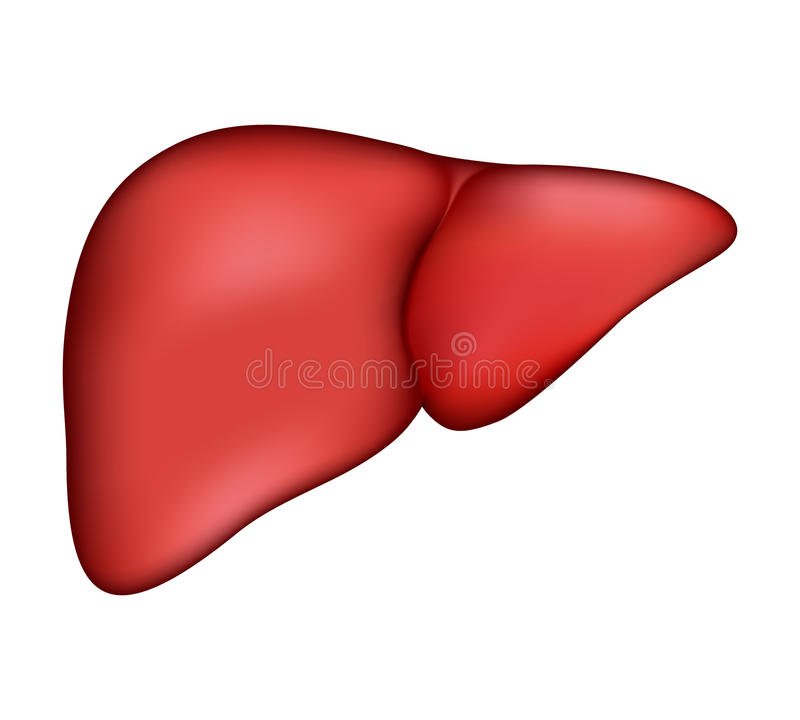 Realistic human liver. Vector medical illustration royalty free illustration