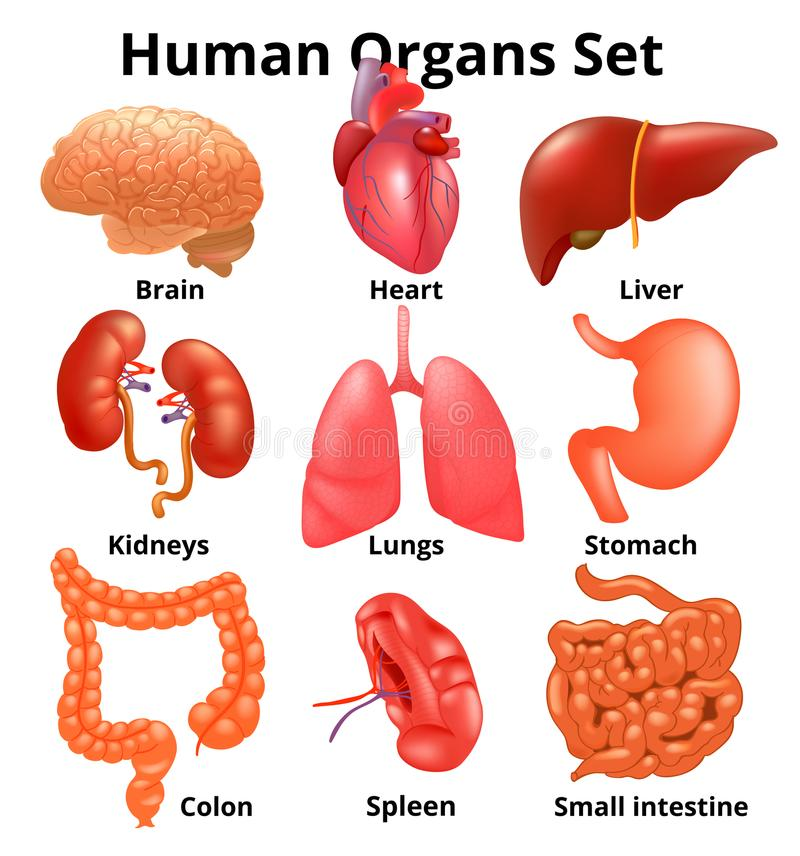 Realistic Human Organs Set Anatomy Stock Vector - Illustration of ...