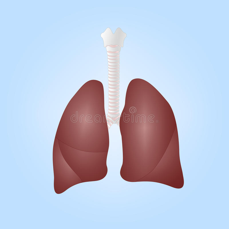 Realistic illustration of human lungs vector illustration