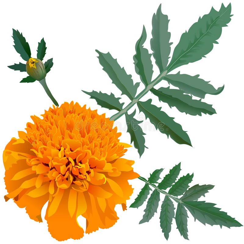 Free Realistic Illustration Of Orange Marigold Flower (Tagetes) Isolated On White Background. One Flower, Bud And Leaves. Royalty Free Stock Photography - 50005527
