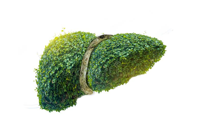 Realistic liver images are human green tree shapes about diseases and cirrhosis environment. Realistic liver images   are human green tree shapes about diseases royalty free illustration