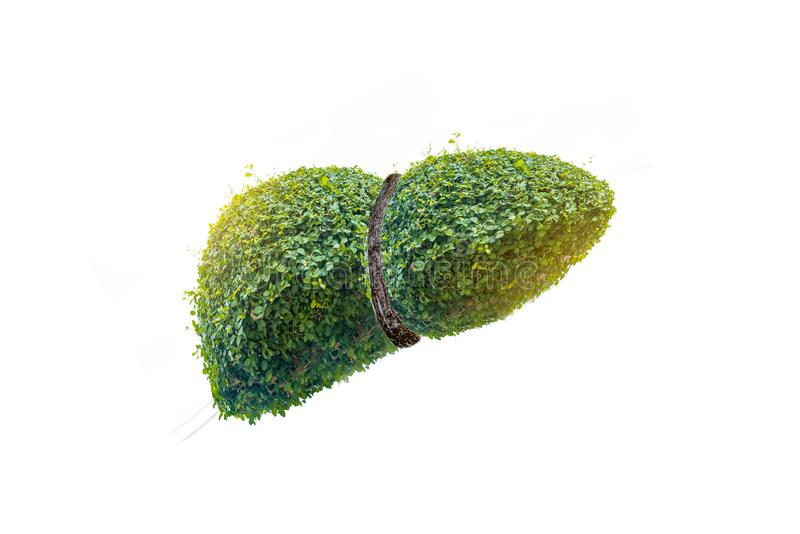 Realistic liver images are  human green tree shapes about diseases and cirrhosis environment. Realistic liver images are human green tree shapes about diseases vector illustration