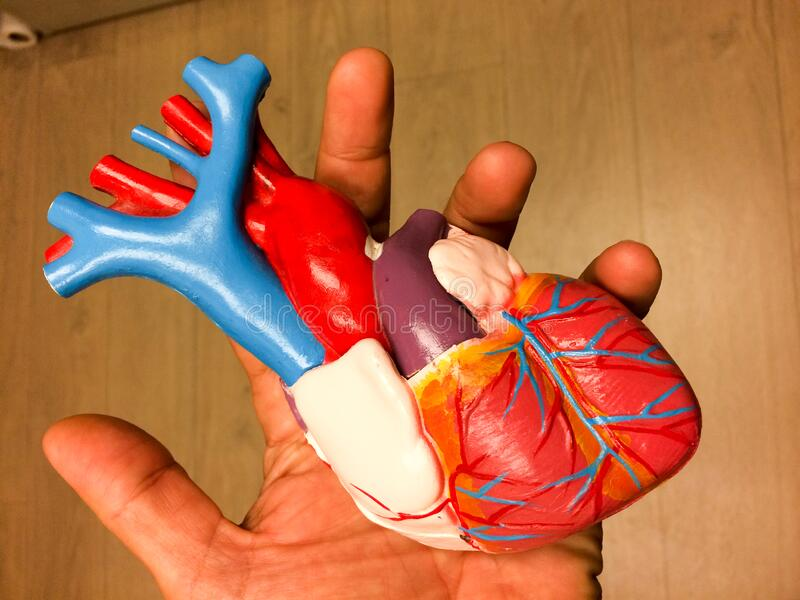 Realistic Medical heart model replica. Plastic heart model on table and held in hand with vivid red and blue color stock photography