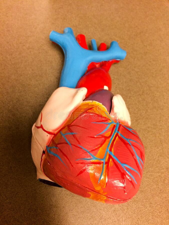 Realistic Medical heart model replica. Plastic heart model on table and held in hand with vivid red and blue color royalty free stock photos