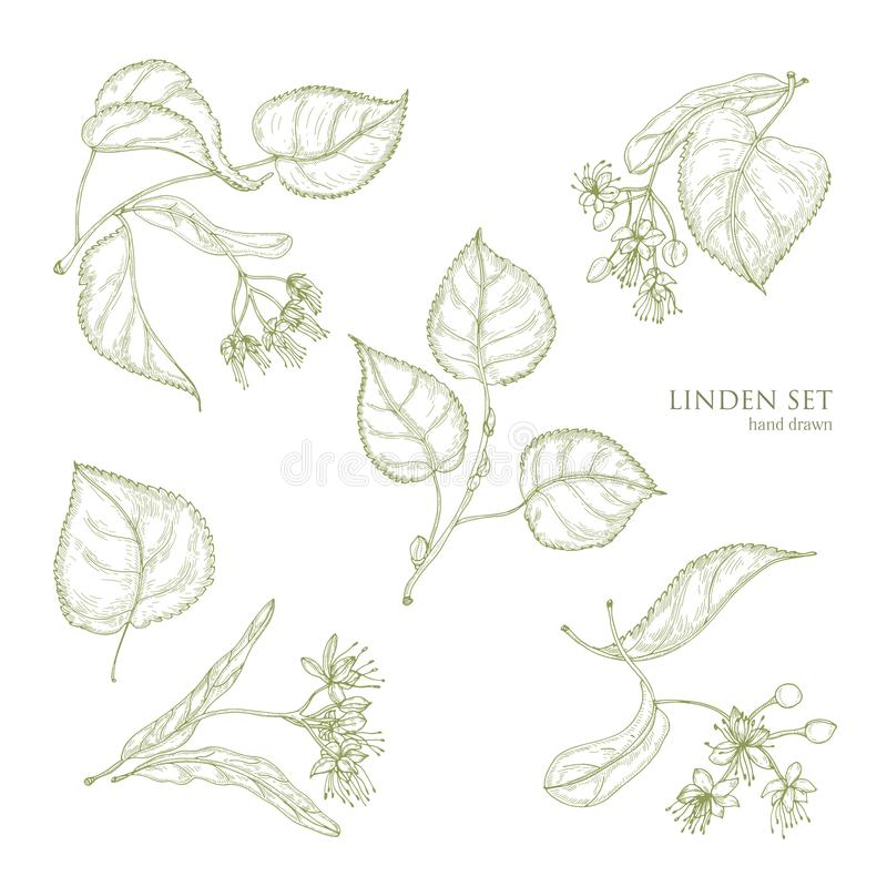 Free Realistic Natural Drawings Of Linden Leaves And Beautiful Tender Flowers. Parts Of Blooming Tree Hand Drawn With Contour Stock Images - 101925404
