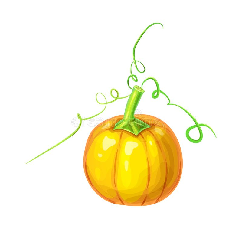 realistic Orange big ripe pumpkin with stem and curly tendrils isolated on white. beautiful hand drawn autumn halloween or royalty free illustration