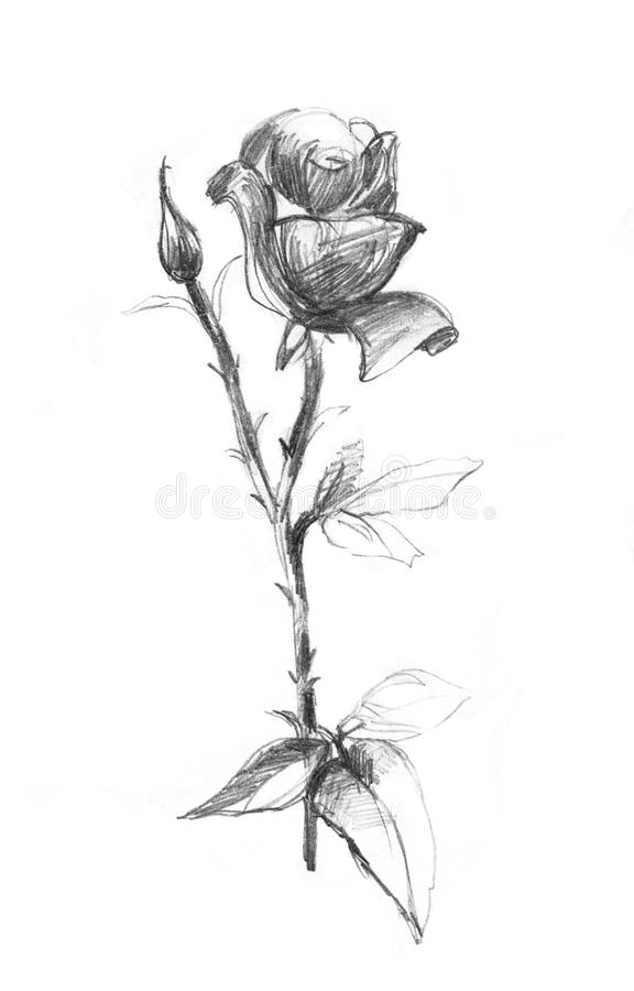 Realistic Pencil Drawn Rose Flowers Background Hand Pencil Drawing