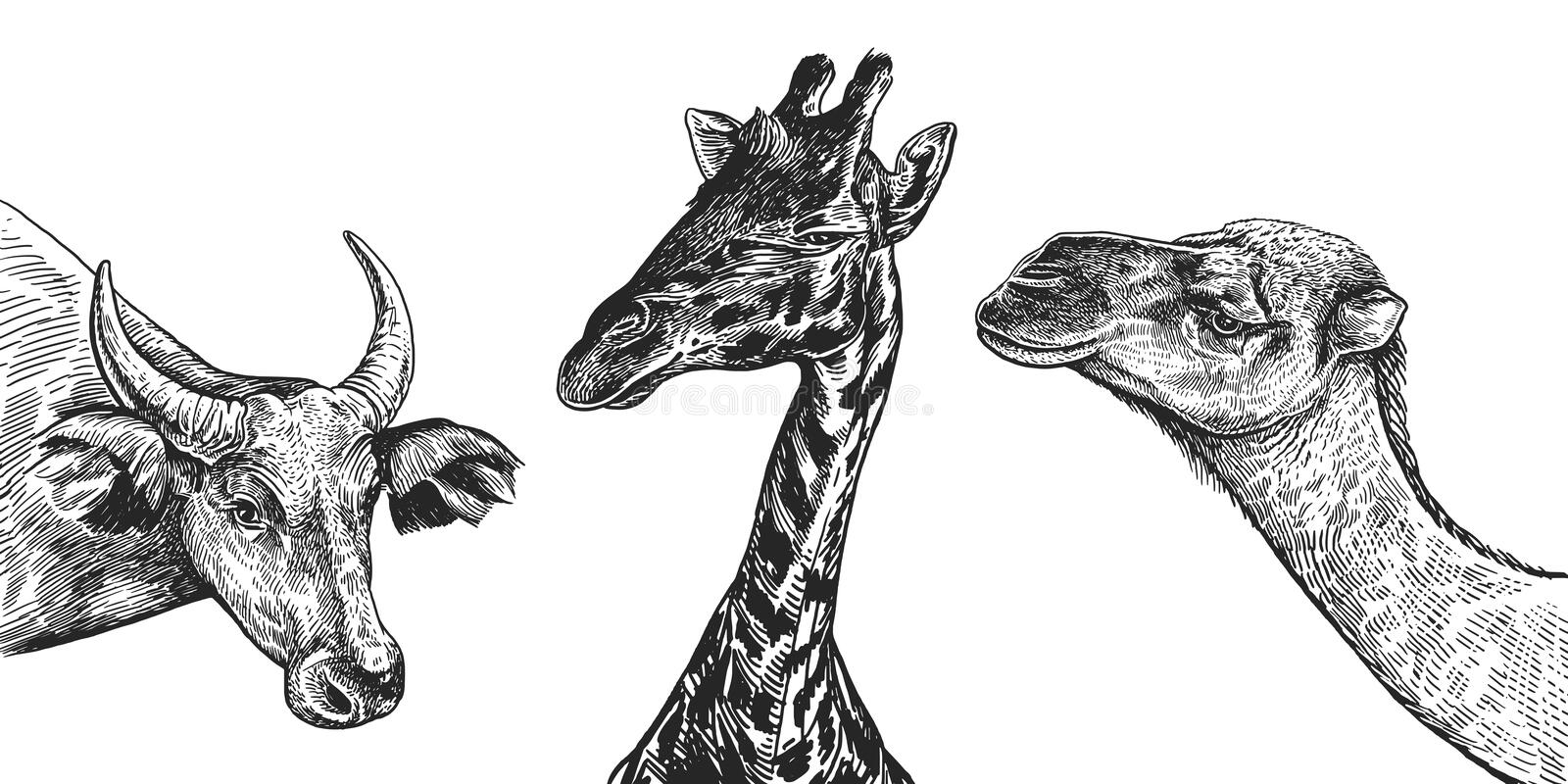 Realistic portrait of African animals camel, cow, giraffe. Vintage engraving. Black and white hand drawing. Vector stock illustration