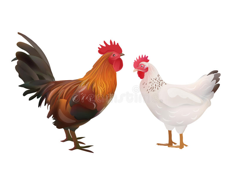 Realistic Rooster And Hen Picture. Vector Illustration Or