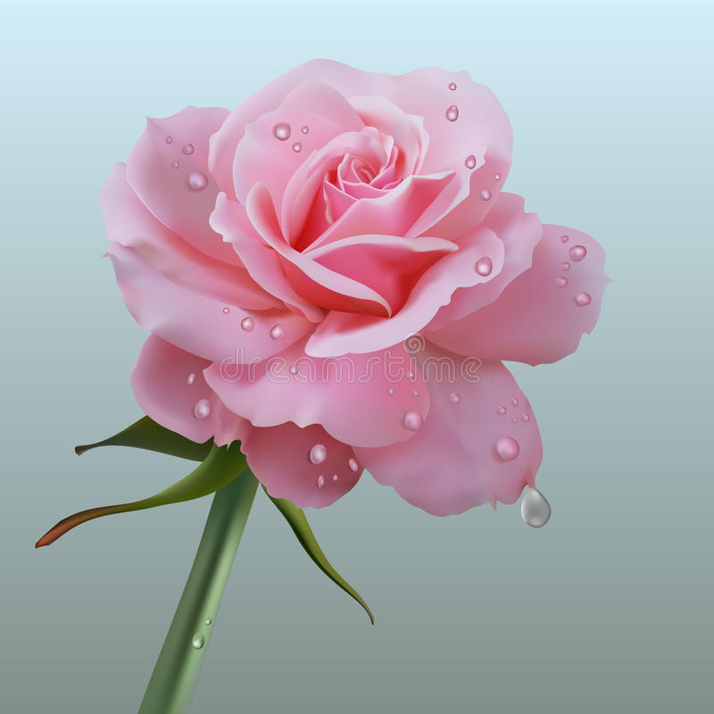 Realistic rose stock photos