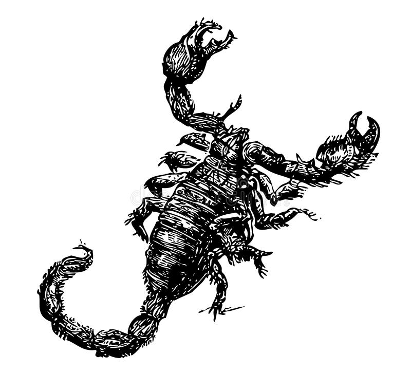 Detailed sketch of a scorpion stock illustration