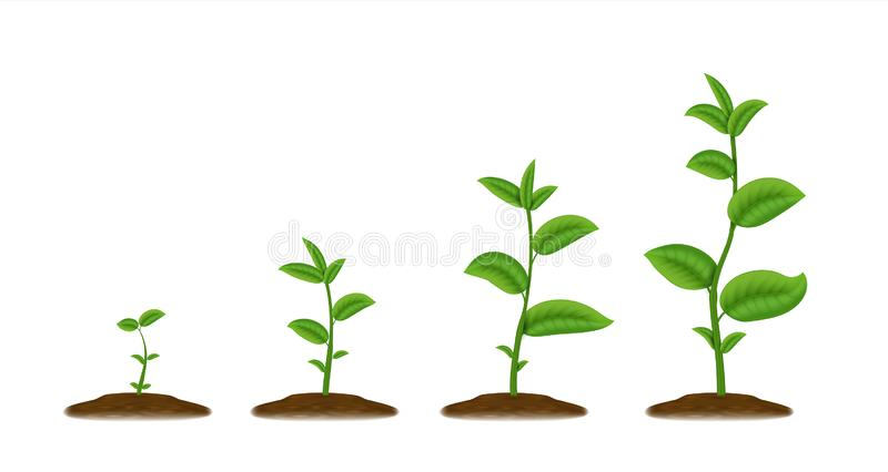 Realistic sprouts. Green plant stages of growth, agricultural plant seedling in ground. Vector young green been grow royalty free illustration