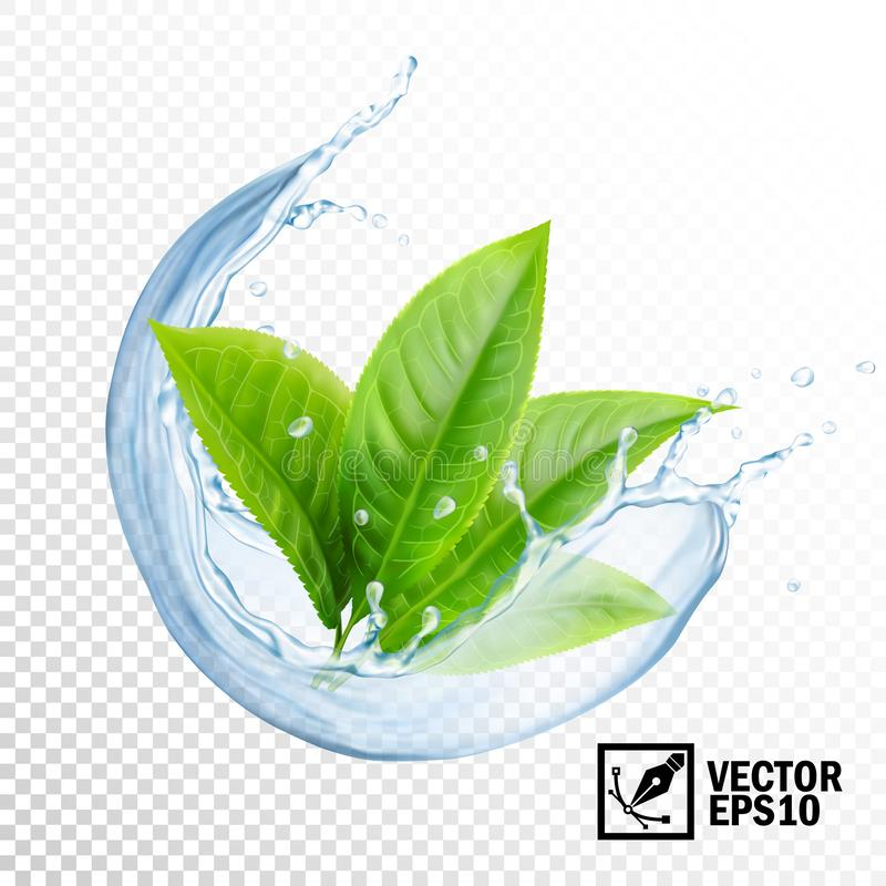 3D Realistic transparent vector splash of water with leaves of tea or mint. Editable handmade mesh. Realistic transparent vector splash of water with leaves of vector illustration