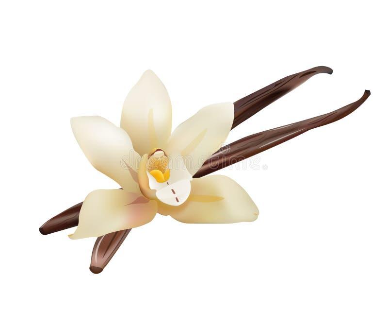 Realistic Vanilla Flower and Sticks. Vector Isolated Illustration Icon vector illustration