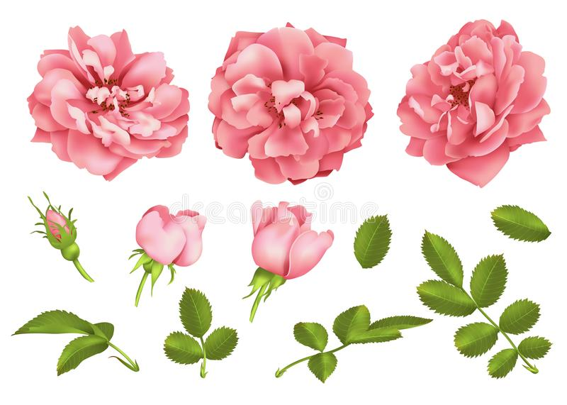 Realistic vector pink rose set. 3d roses stock photography