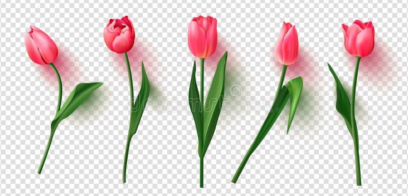 Realistic vector tulips set on transparent background.Vector illustration. stock illustration
