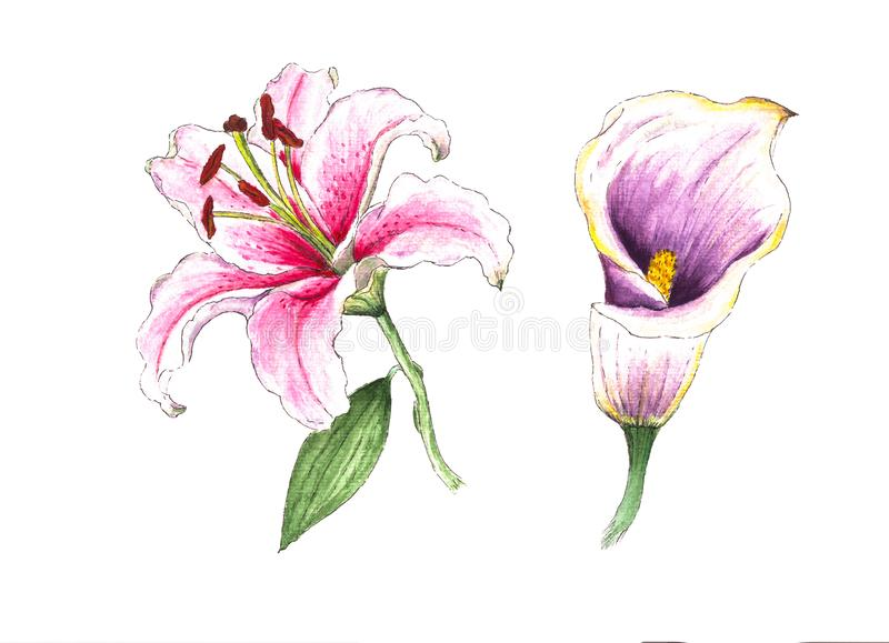 Realistic white-pinc watercolor lily and calla lily, on white background. stock illustration