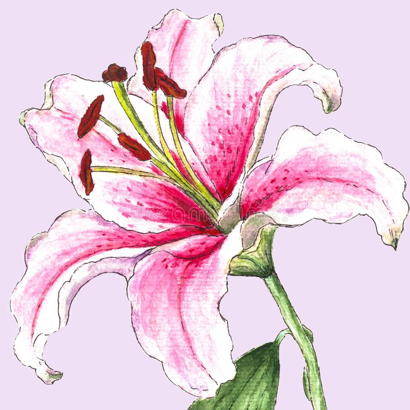 Realistic white-pinc watercolor lily, on light pink background. stock photography