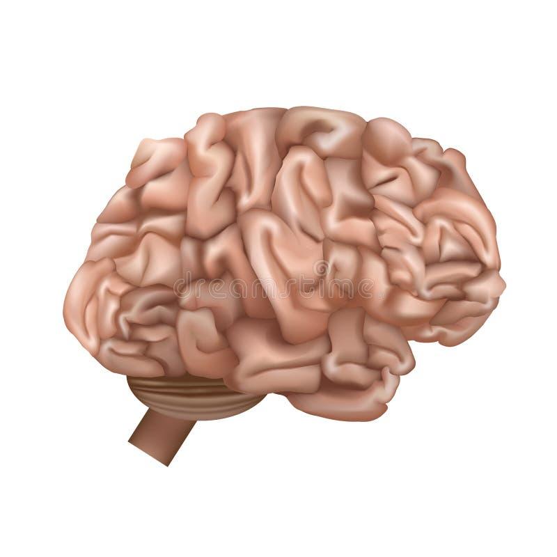 Realistisch Gedetailleerd 3d Menselijk Brain Internal Organ Vector royalty-vrije illustratie