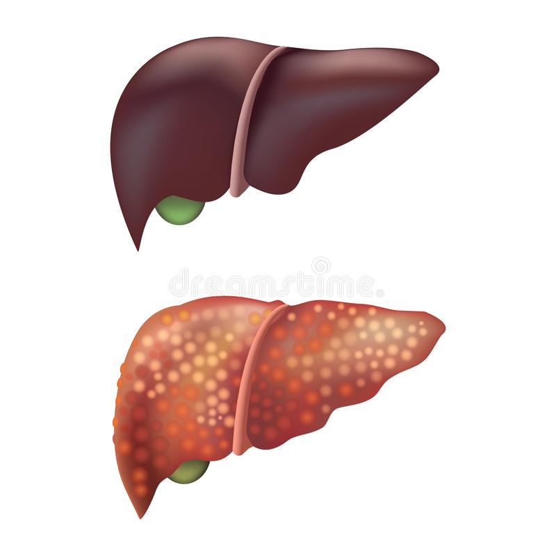 Realistische ausführliche Menschen-innere Organe der Leber-3d Vektor stock abbildung