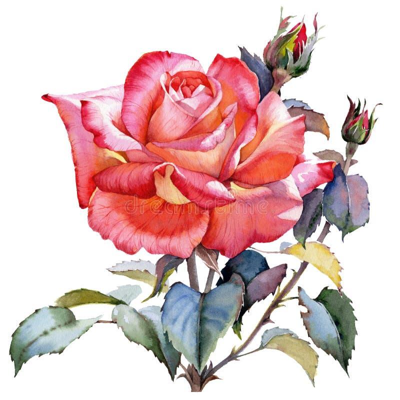 Realistische Blume der Aquarellrot-Rose Botanische mit Blumenblume Lokalisiertes Illustrationselement lizenzfreie abbildung