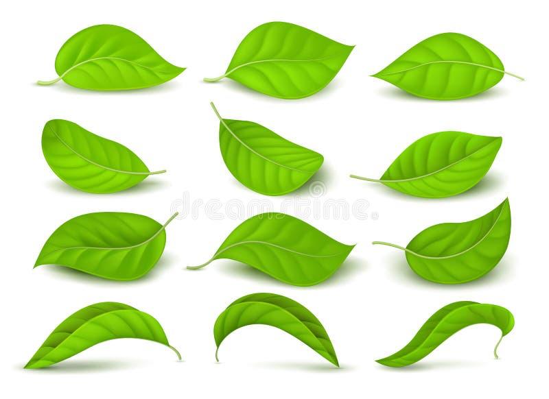 Realistische grüne Teeblätter mit Wassertropfen lokalisiert auf weißem Vektorsatz stock abbildung