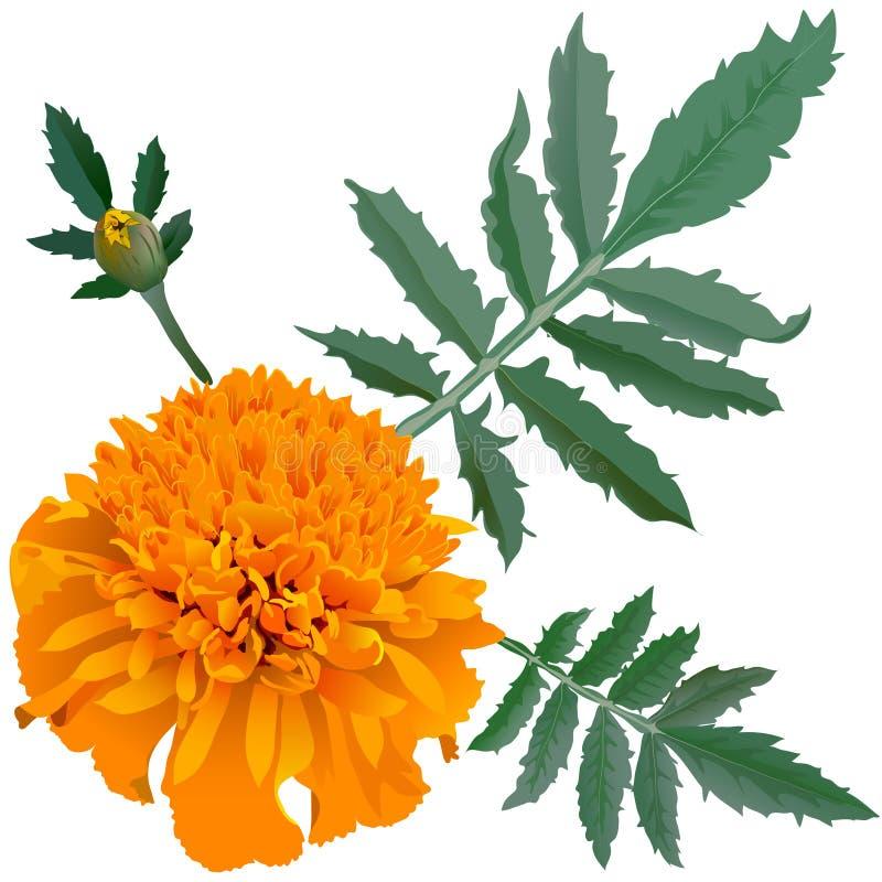 Realistische illustratie van oranje goudsbloembloem (Tagetes) die op witte achtergrond wordt geïsoleerd Één bloem, knop en blader royalty-vrije illustratie