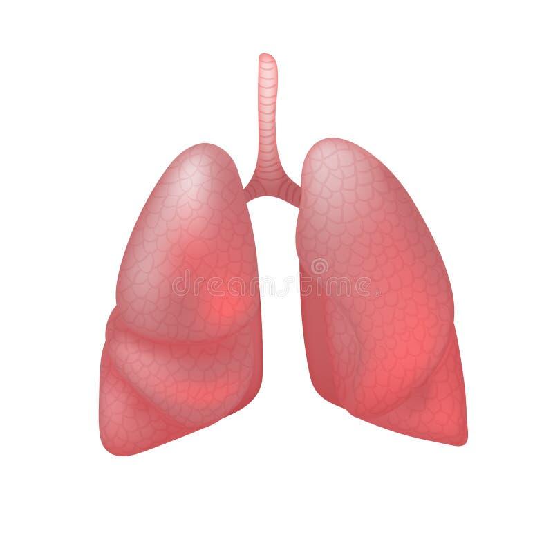 Realistische menselijke longen die op witte achtergrond worden geïsoleerd royalty-vrije illustratie