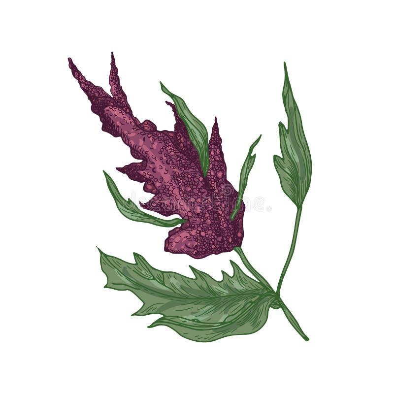 Realistische natuurlijke tekening van quinoa of amarantinstallatie met bloeiende installatie of bloeiwijze Eetbaar geïsoleerd kor vector illustratie