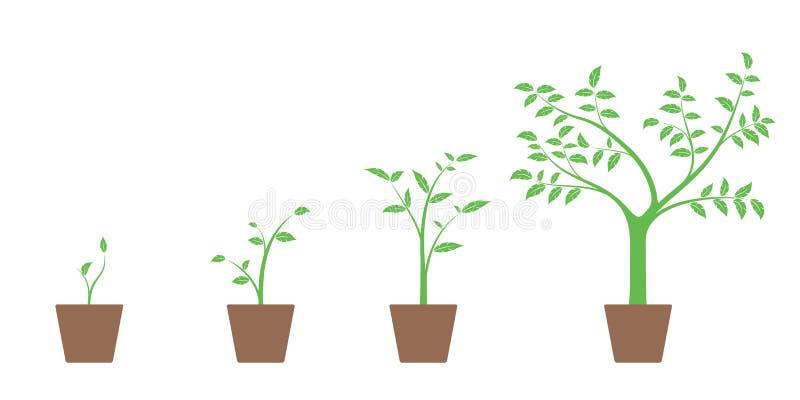 Realistische reeks vectorillustraties van de groeifasen van groene installatie en boom in pot, vector illustratie