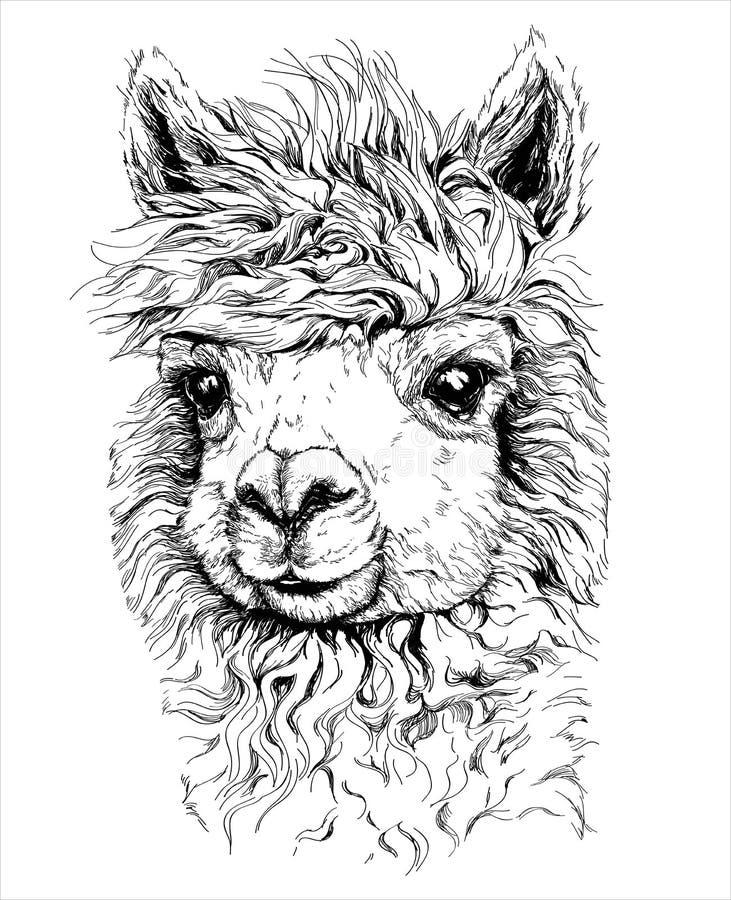 Realistische schets van LAMA Alpaca, zwart-witte die tekening, op wit wordt geïsoleerd royalty-vrije stock afbeeldingen