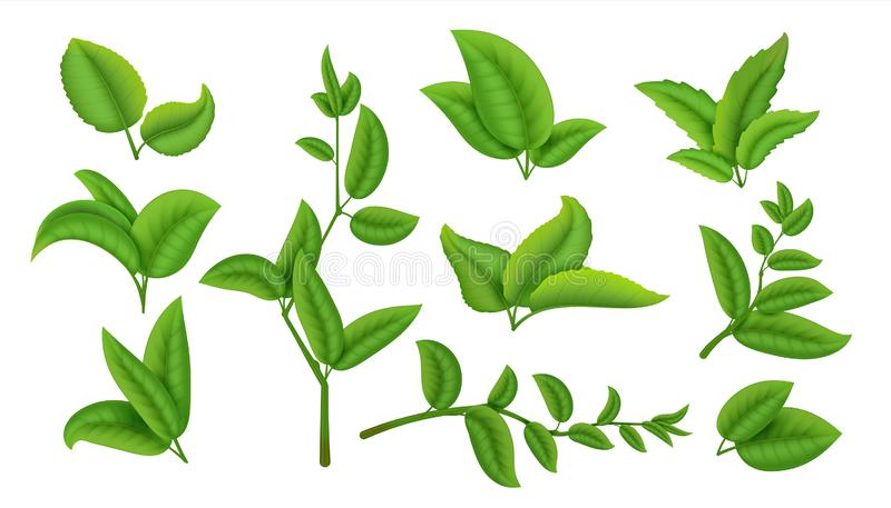 Realistische Teeblätter und Niederlassungen Grünpflanzen und Kräuter lokalisiert auf weißer, natürlicher Teeblattsammlung Vektor stock abbildung