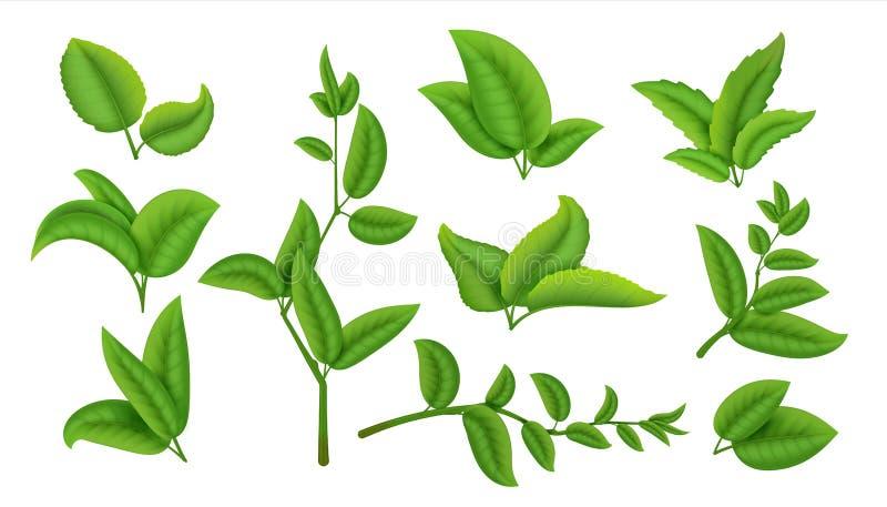 Realistische theebladen en takken Groene die installaties en kruiden bij de witte, natuurlijke theebladinzameling worden geïsolee stock illustratie