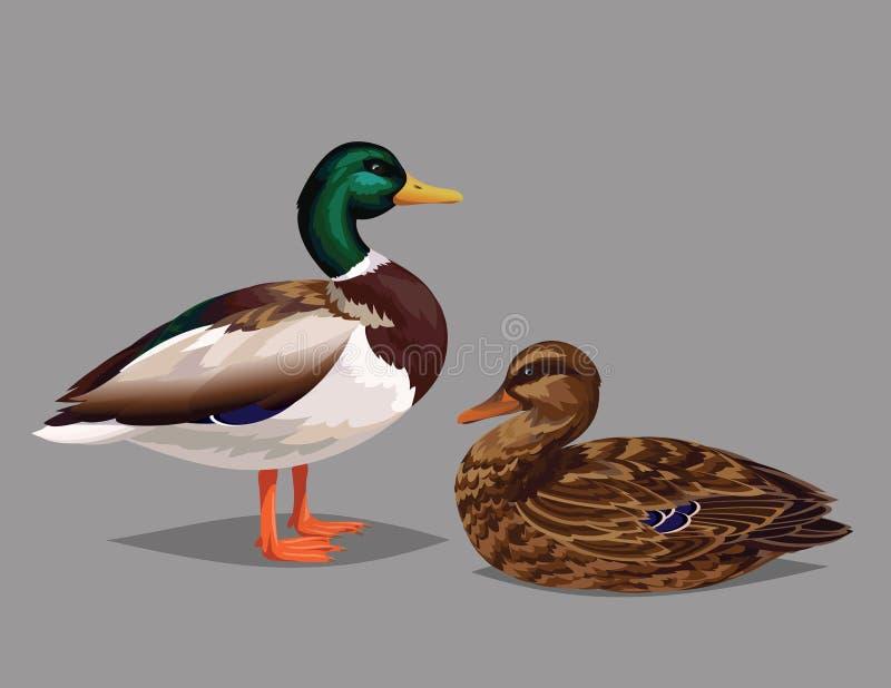 Realistische vogels Wilde Eenden op een grijze achtergrond royalty-vrije illustratie