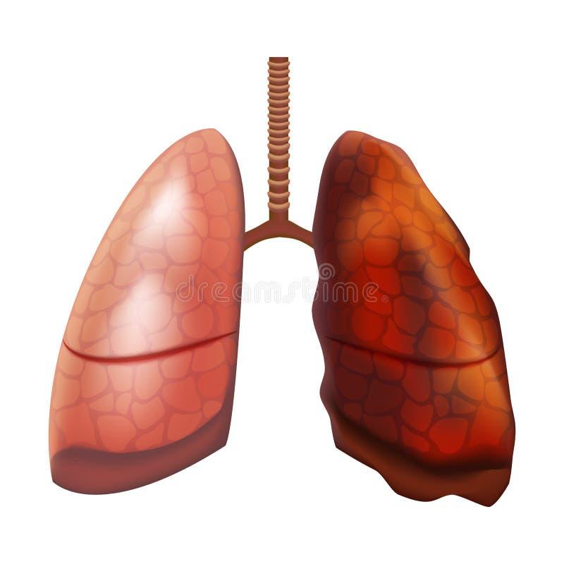Realistisches ausführliches menschliches inneres Organ der Lunge-3d Vektor lizenzfreie abbildung