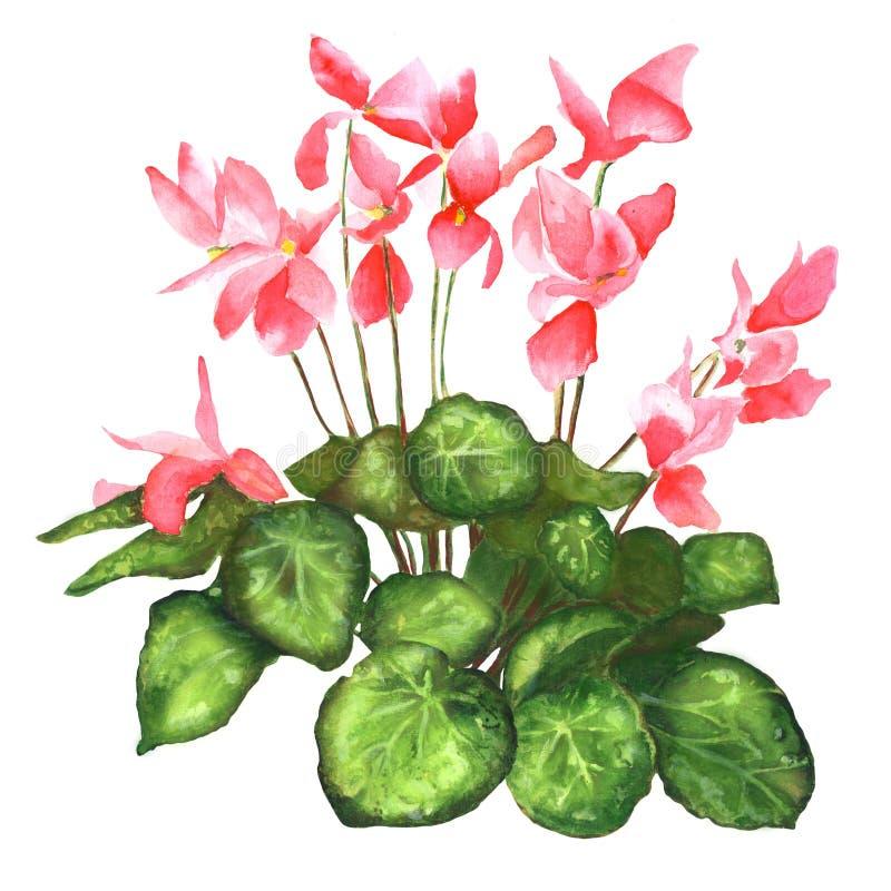 Realistisk blommacyklamen royaltyfri illustrationer