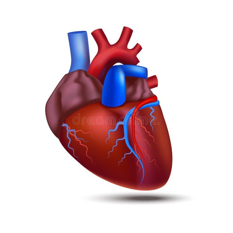 Realistisk detaljerad mänsklig hjärta för anatomi 3d vektor stock illustrationer