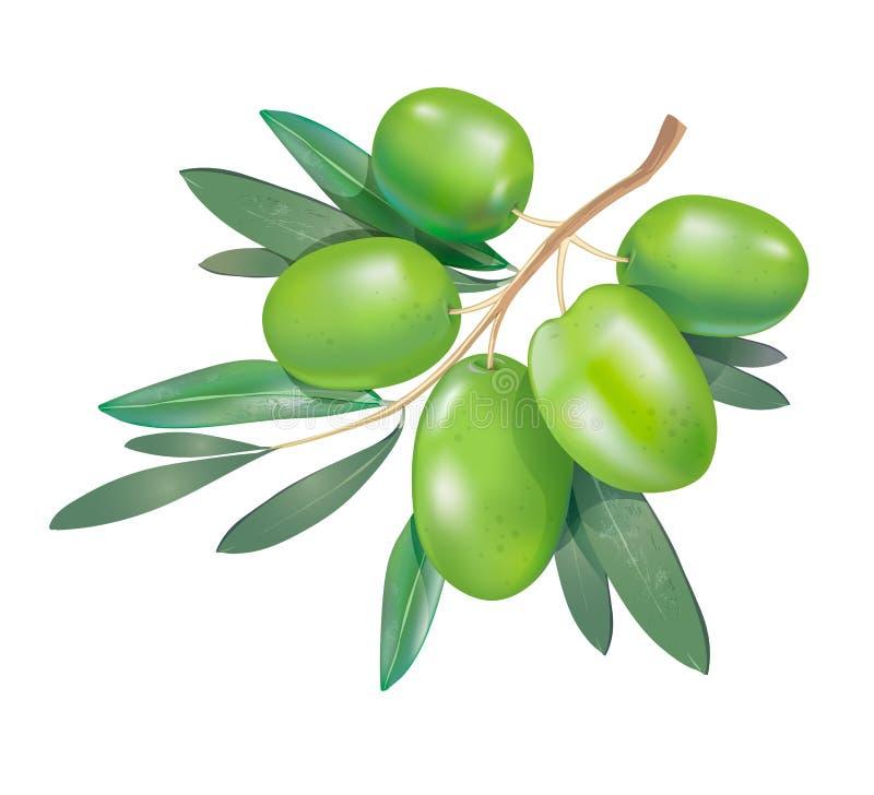Realistisk grön olivgrön filial 3d med sidor som isoleras på vit royaltyfri illustrationer