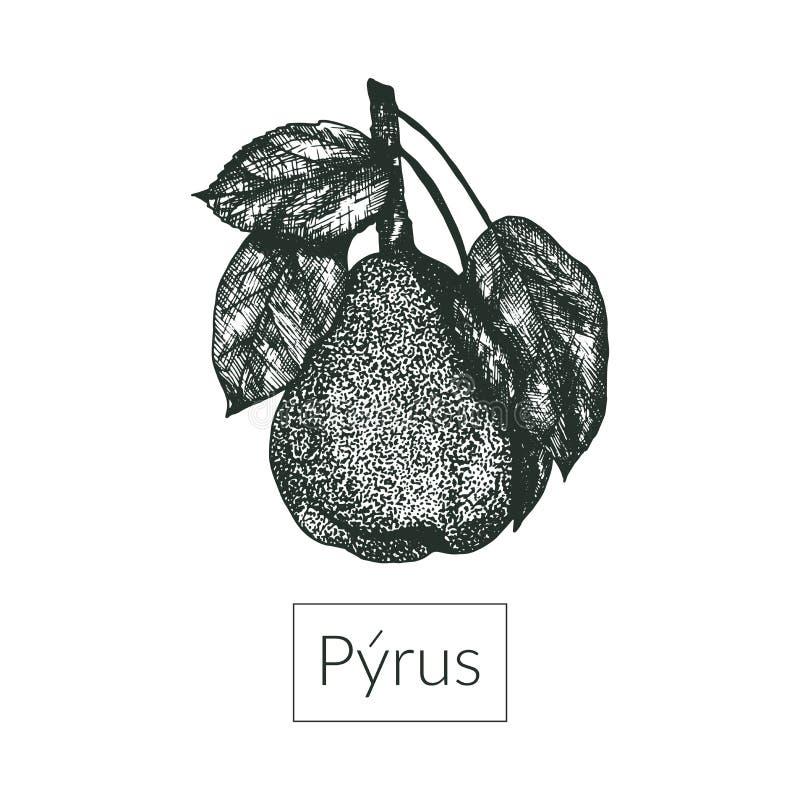 Realistisk växt för vektorillustrationpäron stock illustrationer