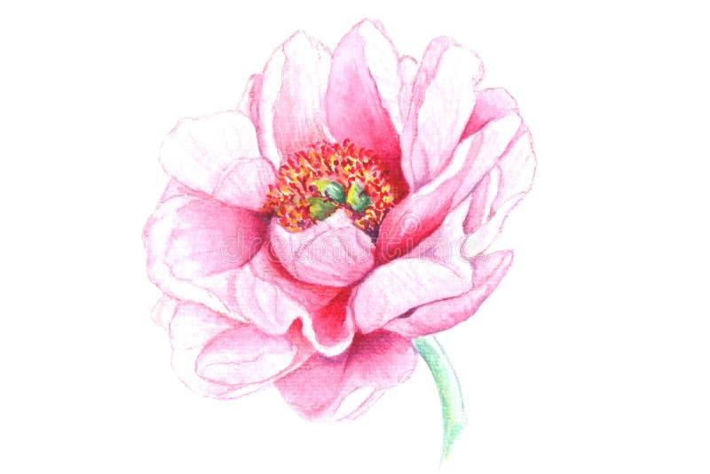 Realistisk vattenfärgblomma av pionen, lös ros, lilja som isoleras på vit bakgrund royaltyfri illustrationer