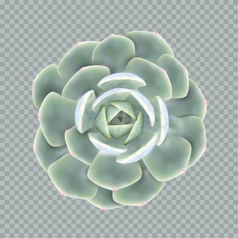 Realistisk vektorillustration av en suckulent växtecheveria arkivbilder